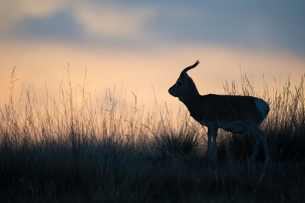 Przewalski's gazelle, Procapra przewalskii, Qinghai Lake, Koko Nor, Tibetan Plateau, Qinghai, China. Endemic species for China.