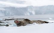 Weddell Seal (Leptonychotes weddellii) from Mikkelsen Harbor, Trinity Island, Antarctica