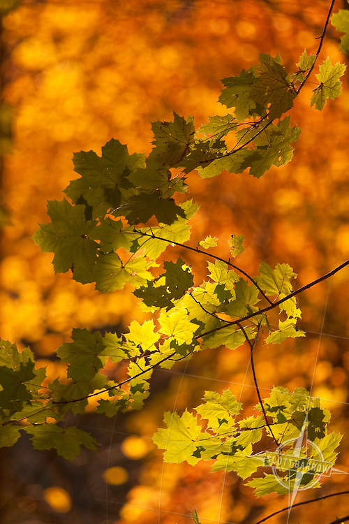 Fall Foliage on branches.