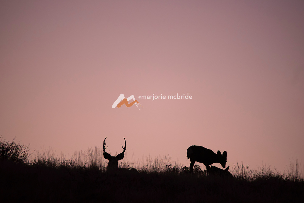 Buck and fawn silhouette at sunrise