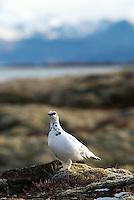 Ptarmigan, Lagopus muta, Thingvellir lake, Thingvellir National Park, Iceland