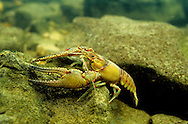 Longpincered Crayfish<br />