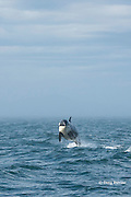 southern resident orca, or killer whale, Orcinus orca, juvenile breaching, with fog bank in background, off southern Vancouver Island, Strait of Juan de Fuca, British Columbia, Canada ( Eastern North Pacific Ocean ); #4 in sequence of 6
