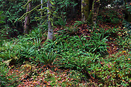 Fallen fall leaves and Sword Ferns (Polystichum munitum) under the forest canopy along Duck Creek. Photographed at Duck Creek Park on Salt Spring Island, British Columbia, Canada.