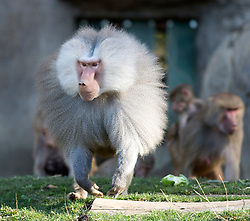 Trooper lead Martijn, foreground, leads the lunchtime charge into the outdoor enclosure at the Hamadryas baboon exhibit of the Oakland Zoo, Wednesday, Dec. 23, 2015. (D. Ross Cameron/Bay Area News Group)