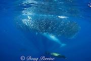 Bryde's whale, Balaenoptera brydei or Balaenoptera edeni, and California sea lions, Zalophus californianus, feeding on mixed baitball of sardines and Pacific chub mackerel or green mackerel Scomber japonicus, off Baja California, Mexico ( Eastern Pacific Ocean )