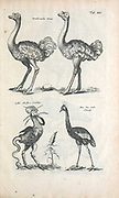 Ostriches 17th-century artwork. This artwork is from 'Historiae naturalis de quadrupetibus' (1657) by Polish scholar and physician John Jonston (1603-1675).