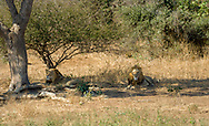 Lions resting after a meal in  Kruger NP, South Africa