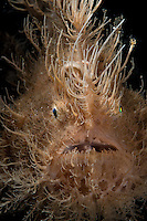 "Portrait and detail of the ""hairs"" of a striated frogfish (Antennarius striatus). Lembeh Straits, North Sulawesi, Indonesia."