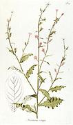 Hand painted botanical study of flower Nicotiana crispa (tobacco plants) anatomy from Fragmenta Botanica by Nikolaus Joseph Freiherr von Jacquin or Baron Nikolaus von Jacquin (printed in Vienna in 1809)