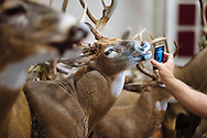 An attendee uses the flashlight on his phone to look at the mouth of a deer sculpture during the World Taxidermy and Fish Carving Championships in Springfield, Missouri.