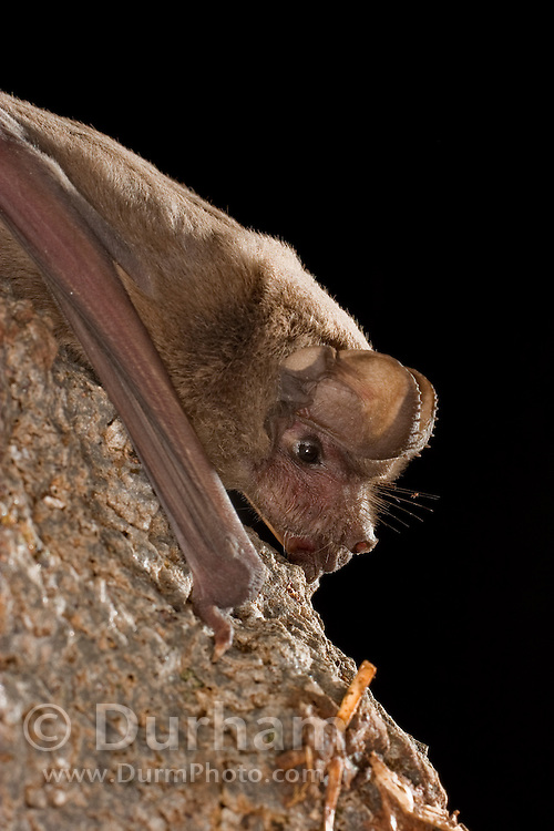A mexican free-tailed bat (Tadarida brasiliensis) roosting at night. Coconino National Forest, Arizona.