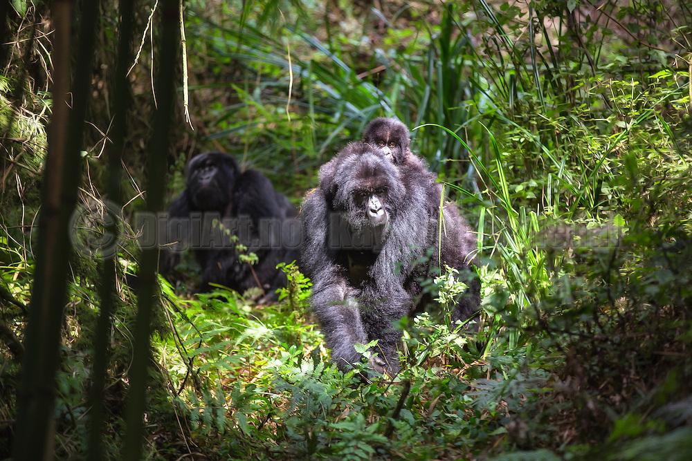 Gorilla family in the jungle of Rwanda. Baby sitting on the back of it's mother | Gorilla familie i jungelen i Rwanda. Barnet sitter på ryggen til sin mor.