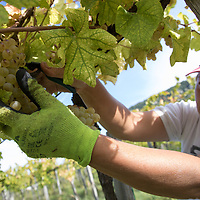 Workers harvest grape at the Hilltop Wine House near Neszmely, Hungary on Sept. 13, 2018. ATTILA VOLGYI