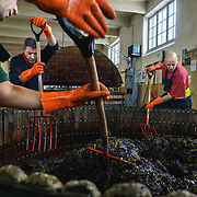 Grape-press workers mix grapes in a century-old press machine at Champagne Mumm\s Verzenay vineyard. The presser squeezes the grapes softly to get the juice out without squashing the skin, so as to preseve the juice's light colour. G. H. Mumm & Cie, situated in Reims in northern France, is one of the largest Champagne producers and it is currently ranked 3rd globally based on number of bottles sold. The company is owned by Pernod Ricard.