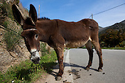 Donkey left on a road in Chania province, Crete.