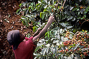 Women picking Coffee beans on an estate in Ruiru, Kenya.