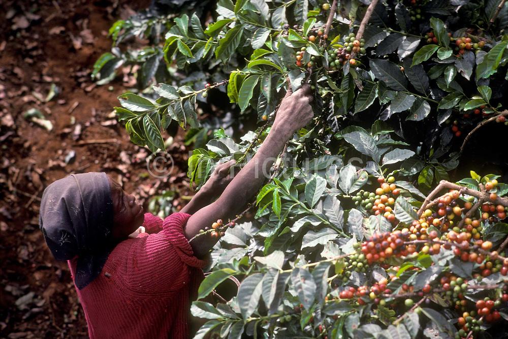 Women picking Coffee beans on an estate in Ruiru, Kenya.