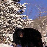 Black Bear, (Ursus americanus) Montana. Adult in winter.  Captive Animal.