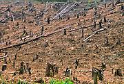 Rainforest destruction, Borneo; for palm oil plantation