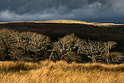 Last of the sunshine before hail then snow a few days ago at Malham in the Yorkshire Dales. Spring trees catch the low sunlight and look skeletal against the shadows of Malham Cove in the distance