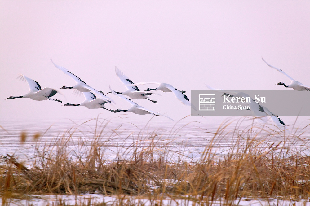 Red-Crowned cranes flying, Zhalong, Heilongjiang Province, China