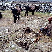Sherpa yak herder tends ropes in Dingboche pasture, Nepal