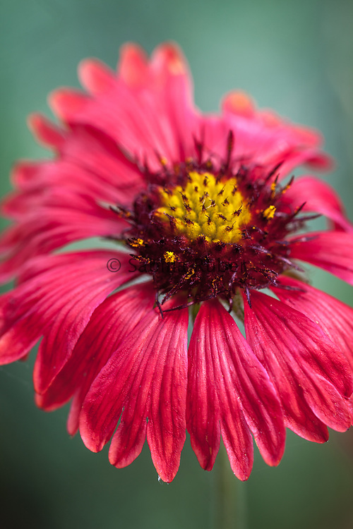 Gaillardia pulchella 'Blood Red' - blanket flower