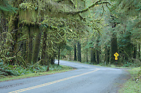 Road in the Hoh River rain forest. Olympic NP, WA