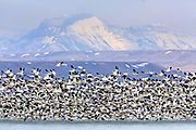 Snow Geese over Freezeout Lake, Montana