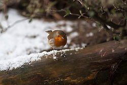 Robin in the snow at Edinburgh Zoo..©Michael Schofield.