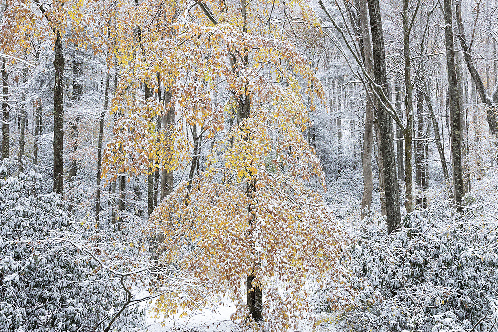 Autumn color and snow, Cherokee National Forest