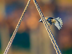 A Black-Capped Chickadee perched on thick ropes
