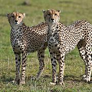 Cheetah (Acinonyx jubatus) male siblings. Serengeti Plains, Masai Mara National Reserve, Kenya, Africa