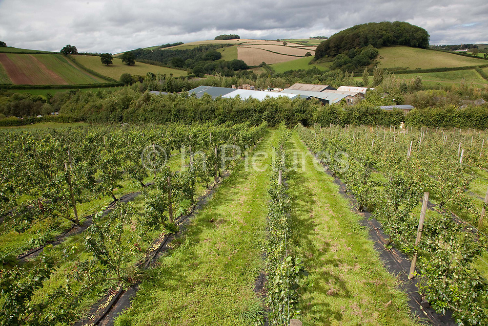 Apples and artichokes in rows, Riverford organic farm, Devon, UK food industry