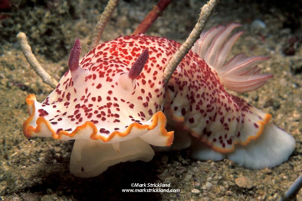 A large, colorful nudibranch, Chromodoris sp., glides over the sea floor. Mergui Archipelago, Myanmar/Burma, Andaman Sea