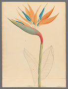 Strelitzia Reginae (1817) crane flower, bird of paradise, or isigude from a collection of ' Drawings of plants collected at Cape Town ' by Clemenz Heinrich, Wehdemann, 1762-1835 Collected and drawn in the Cape Colony, South Africa