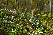A carpet of  large flowered trillium (Trillium grandiflorum). <br />