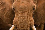 Close up potrait of an African elephant, Loxodonta africana.
