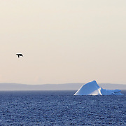 Two birds fly by an iceberg around sunset in Conception Bay South, Newfoundland and Labrador, Canada, on Wednesday, June 5, 2019. THE BLADE/KURT STEISS <br /> MAG NewfoundlandXX