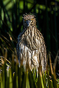 Juvenile Black-crowned Night-Heron (Nycticorax nycticorax), Palo Alto, California