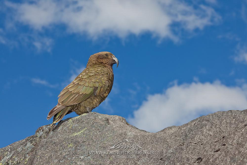Kea, alpine parrot, Fiordland, New Zealand