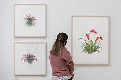© Licensed to London News Pictures. 17/09/2021. LONDON, UK. A staff member views illustrations of Racinaea dyeriana by Mariko Aikawa.  Preview of the RHS Botanical Art & Photography Show 2021 at the Saatchi Gallery.  More than 200 pieces featuring an array of scientifically accurate botanical illustrations by 15 artists and portfolios from 19 photographers are on show September 18 to October 3, 2021 in an event that runs parallel to the RHS Chelsea Flower Show, hosted for the first time in Autumn.  Photo credit: Stephen Chung/LNP