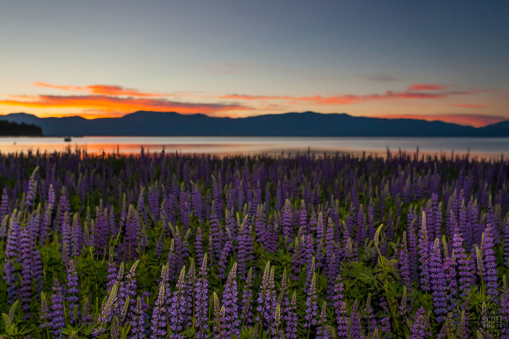 """""""Tahoe Lupine at Sunrise 1"""" - These Lupine wildflowers and sunrise were photographed at Lake Forest Beach, Lake Tahoe."""