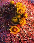 Warm light of sunrise illuminating the top of a blooming barrel cactus, Ferocactus acanthodes, Cactus Garden, Vallecito Mountains, Anza-Borrego Desert State Park, California.