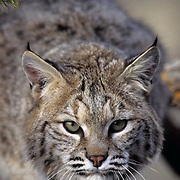 Bobcat (Lynx rufus) portrait of an adult.  Captive Animal.