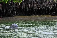Un delfín nariz de botella pescando en las riveras del manglar de El Morro, en Playas.