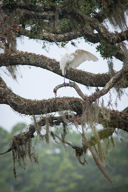 An egret perches and preens in a moss-draped live oak tree along the May River near Bluffton, SC