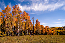 Golden Aspen leaves, aspen trees in fall, white bark, autumn, fall leaves, fall color, Markagunt Plateau, Cedar Mountain, Hwy 132, Mile Marker 24, Dixie National Forest, Utah, UT, Image ut323-17484, Photo copyright: Lee Foster, www.fostertravel.com, lee@fostertravel.com, 510-549-2202