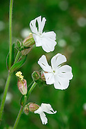 WHITE CAMPION Silene latifolia (Caryophyllaceae) Height to 1m. Hairy, branched perennial of disturbed ground and grassy habitats. Sometimes hybridises with Red Campion. FLOWERS are white, 5-petalled and 25-30mm across; dioecious, male flowers smaller than females (May-Oct). FRUITS have erect teeth. LEAVES are oval and borne in opposite pairs. STATUS-Widespread and common.